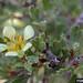 Anteolope bitterbrush in flower