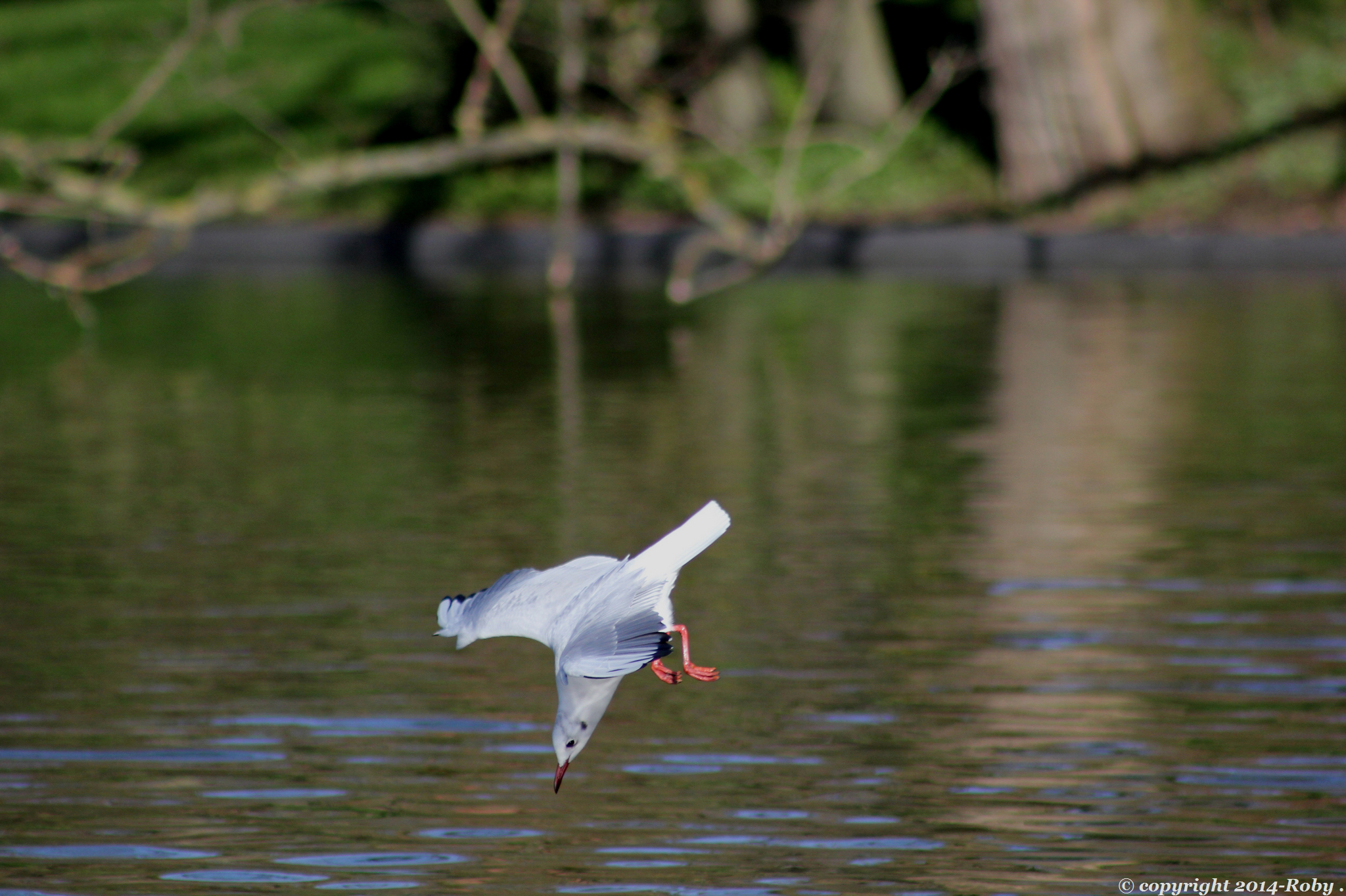 mouette rieuse -2014 Roby