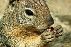 degu(0.0), animal(1.0), squirrel(1.0), fox squirrel(1.0), rodent(1.0), prairie dog(1.0), fauna(1.0), close-up(1.0), chipmunk(1.0), whiskers(1.0), wildlife(1.0),