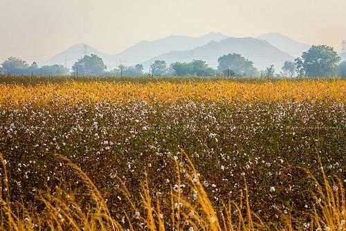 Cottony Landscape ...