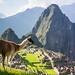 Llama of Machu Picchu by Kathy~