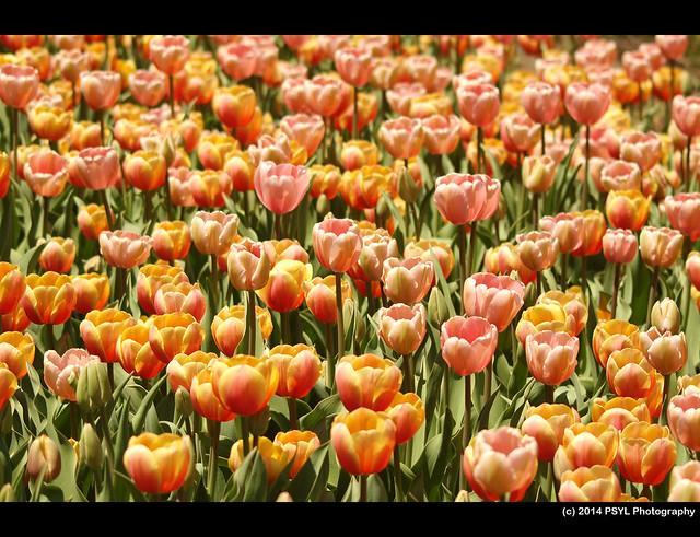 Ottawa Tulip Festival