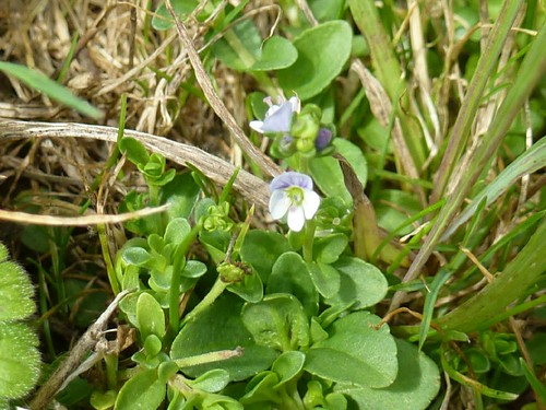 thyme leaved speedwell  ashton Canal