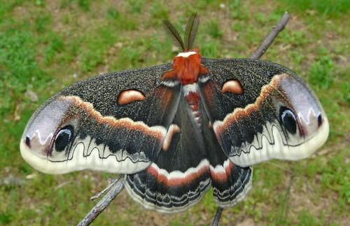 Hyalophora cecropia - Cecropia Moth - Hodges#7767