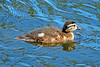 Wood Duck Duckling 16-0529-2650 by digitalmarbles