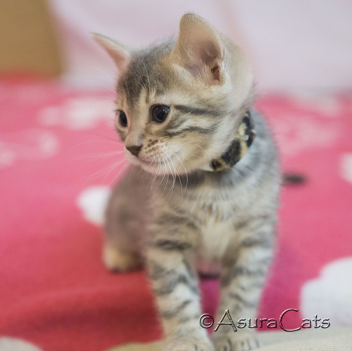 AsuraCats Rainbow Dash - Blue spotted/rosetted female Bengal kitten