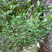 Small photo of American Holly