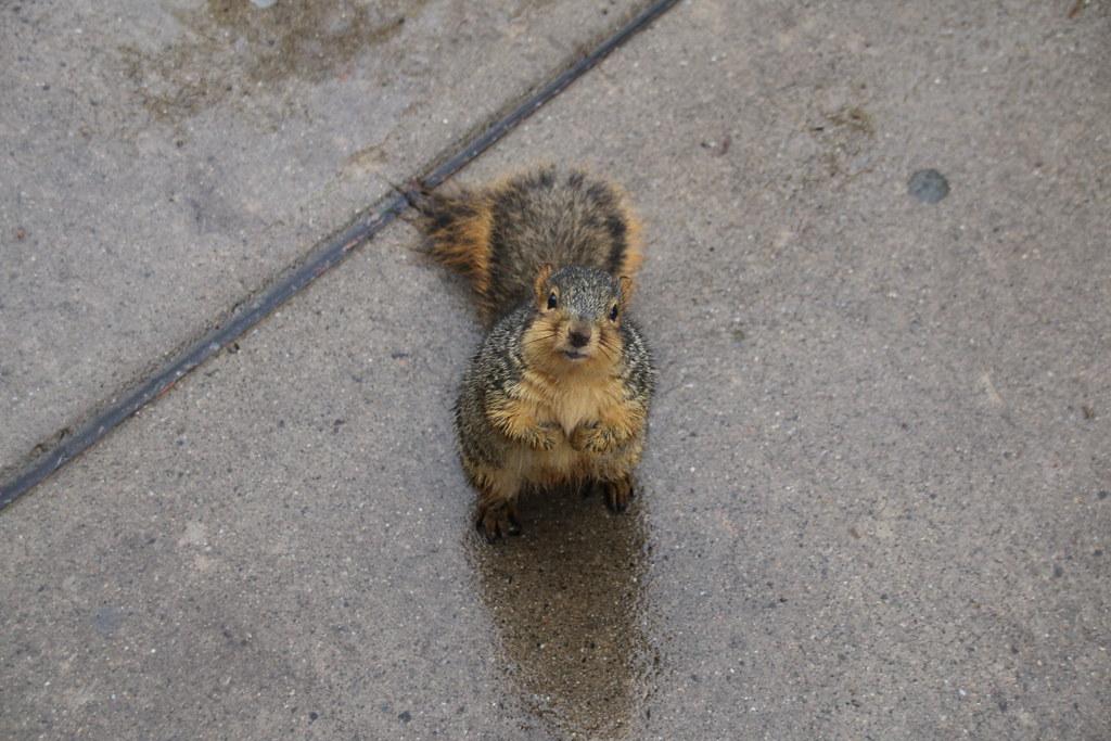 165/365/3087 (November 23, 2016) - Very Wet Squirrels in Ann Arbor at the University of Michigan (November 23, 2016)