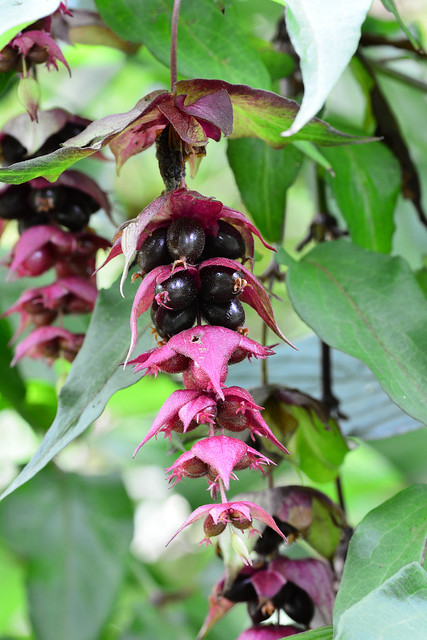 Flowering Nutmeg Leycesteria formosa, Nikon D5200, Sigma Macro 105mm F2.8 EX DG OS HSM
