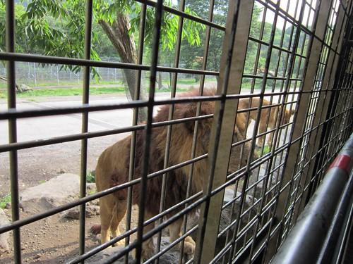 ジャングルバスに近寄るライオン 2013年6月17日15:51 by Poran111