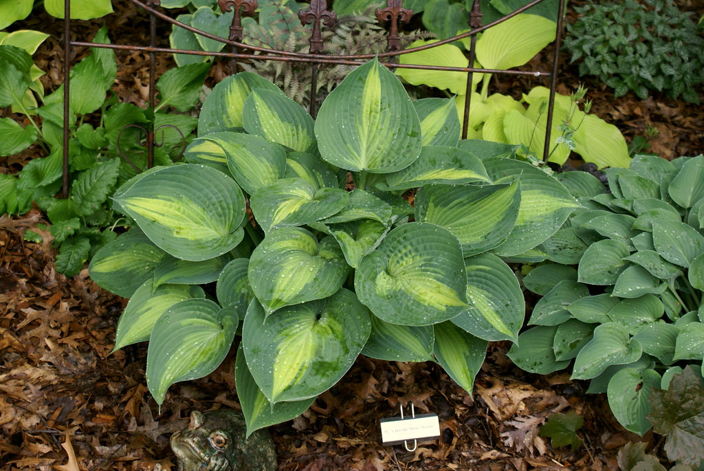 Hosta 'Lakeside Shore Master' (10)-001
