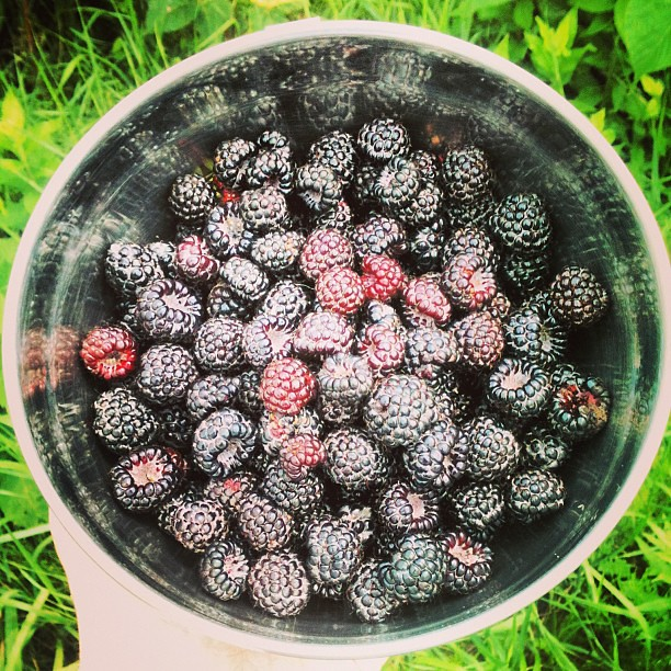 #wildblackraspberries