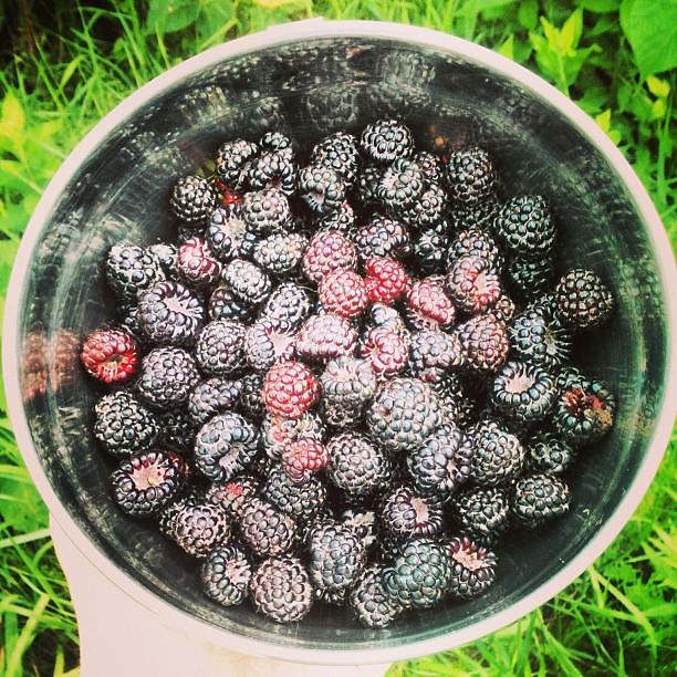 #wildblackraspberries