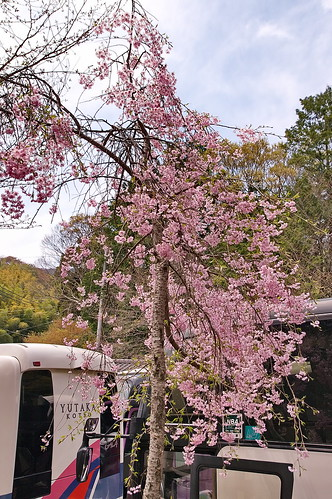 【写真】2013 桜 : 大原野神社/2021-01-15/IMGP0059