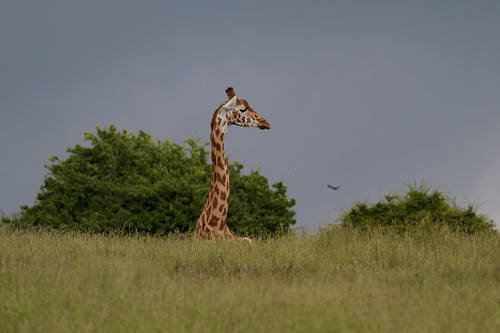 Giraffe by McShug