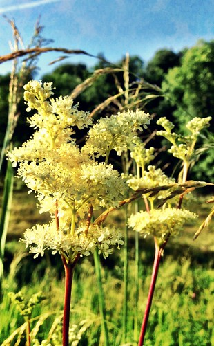 Meadowsweet in bloom