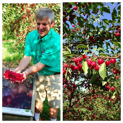 Growing Montmorency cherries in Traverse City, MI