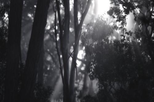 morning travel light leaves forest sunrise nikon 300mm eucalypt layers nikkor sunray lightbeams d7000 koreelahnationalpark