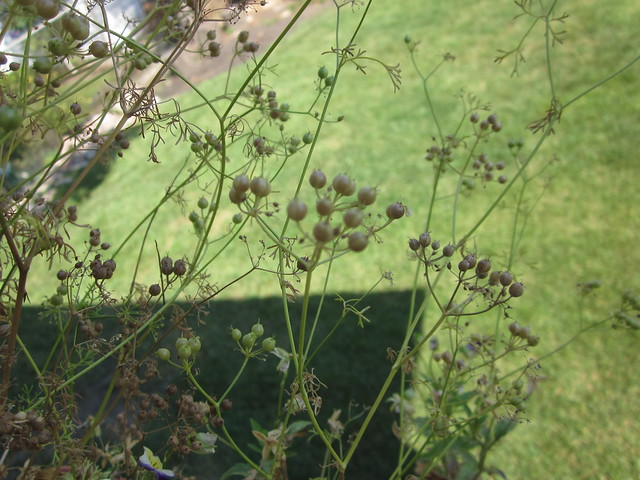 Coriander (cilantro gone to seed)