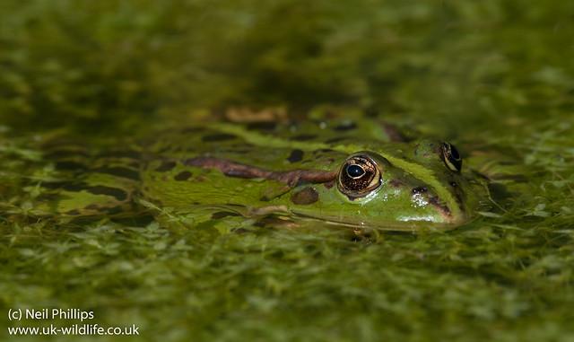 marsh frog-18