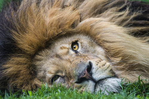 Portrait of a lion lying flat on the ground by Tambako the Jaguar