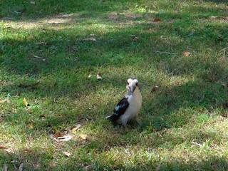 Koobaburra
