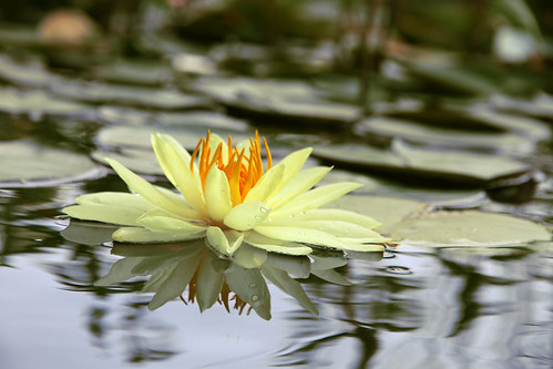 yellow_waterlily