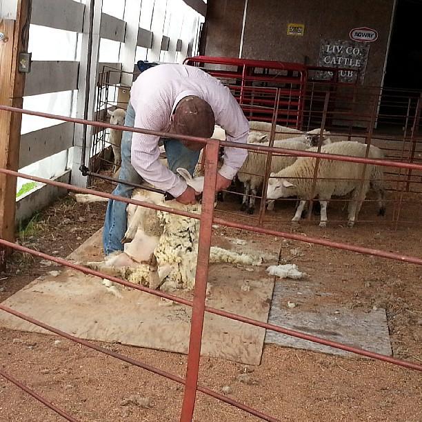 poor sheep #flff