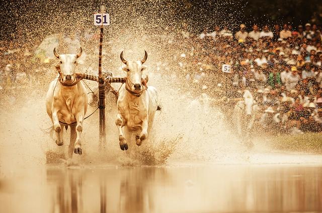 Cow Racing 3