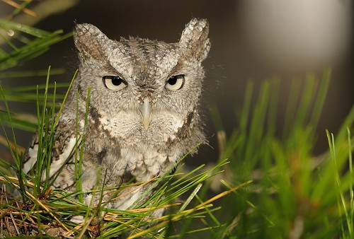 Eastern Screech Owl (Adult Brown Morph) by Mark Schwall
