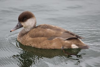 RedCrestedPochard_029193
