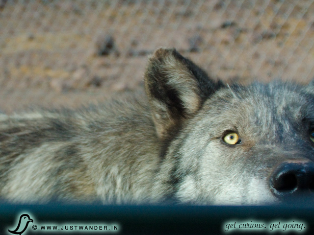 PIC: Bearizona's Alaskan Tundra and Arctic Wolves