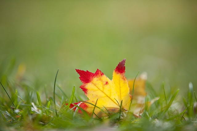 Maple leaf, late October at NYBG; Photo by Ivo M. Vermeulen