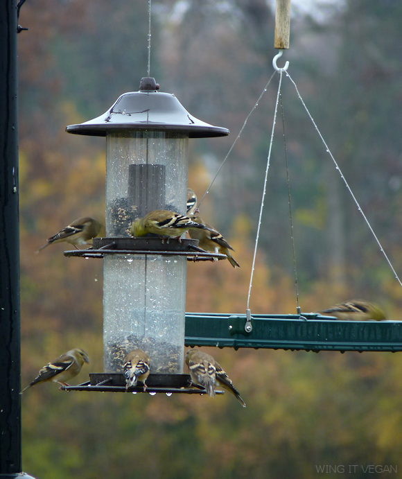 How many blurry goldfinches can you spot?