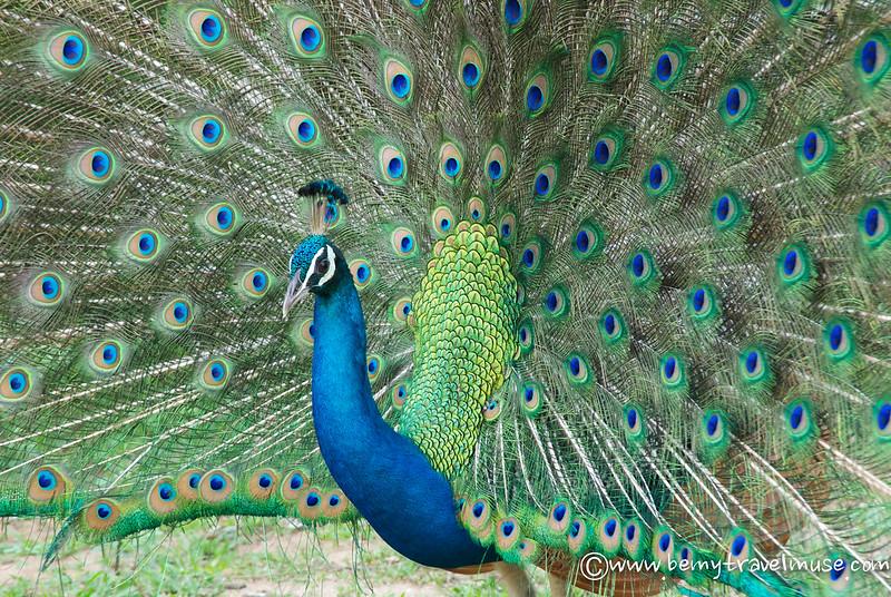 sri lanka peacock