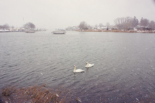Swans at the Harbor
