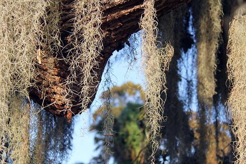 florida フロリダ floride unitedstates usa travel tree plants leesburg spanishmoss us 性质 eo