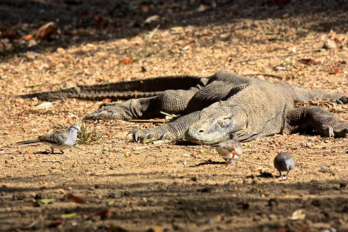 Komodo dragon sighting! Although a lazy one... little do these birds know
