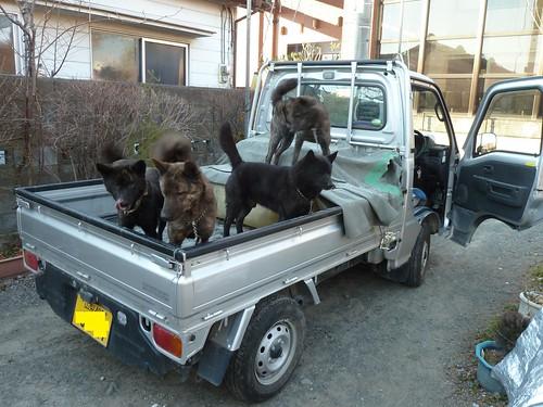 甲斐犬 on the 軽トラ