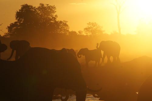 sunset elephant zimbabwe elefant olifant africanelephant loxodontaafricana hwangenp