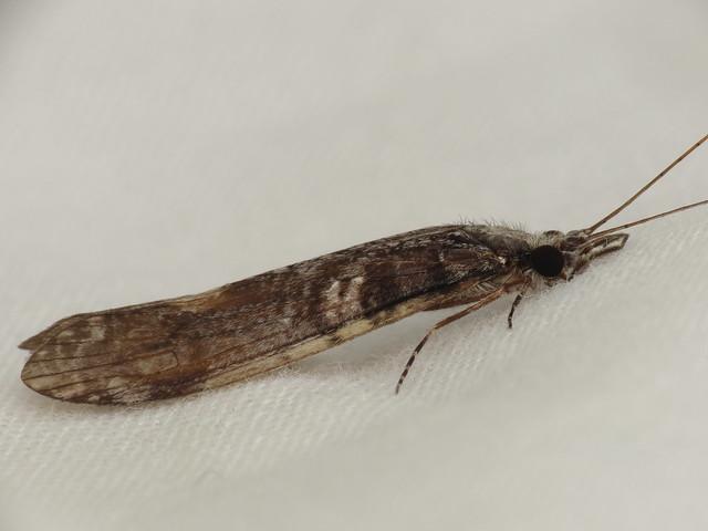 Header of Leptoceridae
