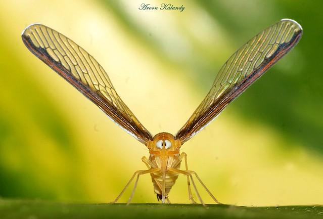 Wing Spread........