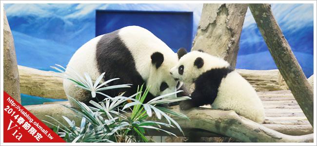 熊貓圓仔影片~圓仔終於見客啦!來去動物園看爆可愛的圓仔