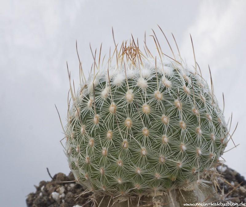Turbinicarpus sauerii ssp septentrionalis, Monterrey, N.L.