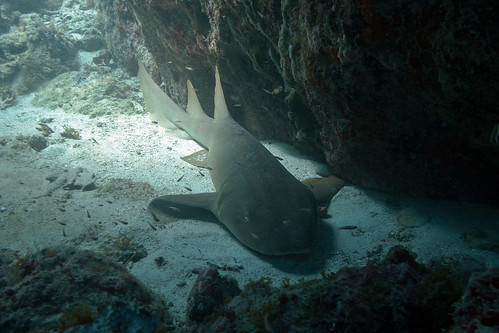 Our first nurse shark!