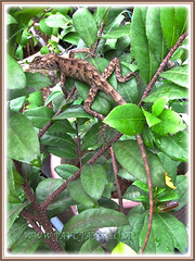 Calotes versicolor (Changeable Lizard, Garden Fence Lizard), 14 April 2014