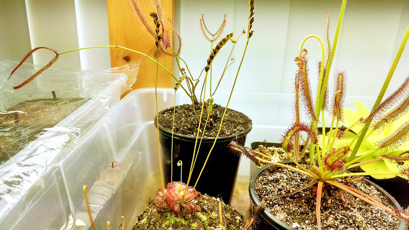 Drosera capillaris with flower stalks.