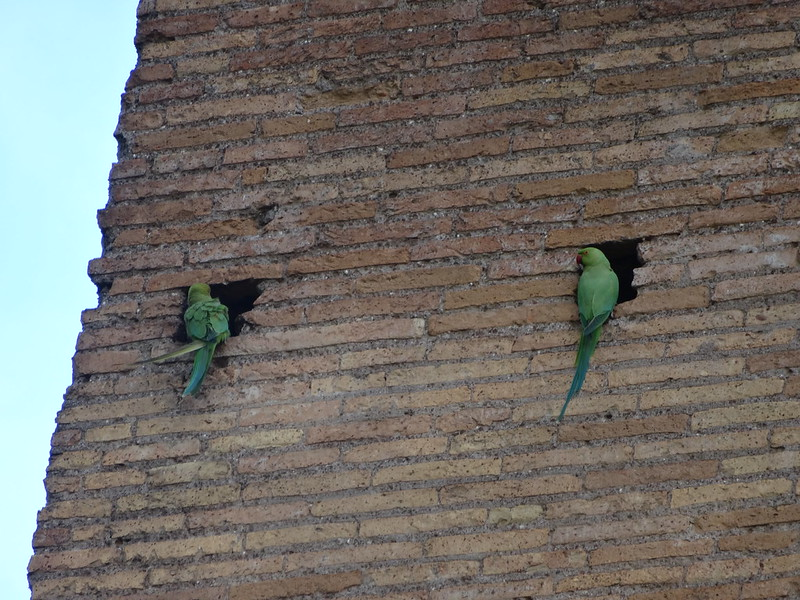 Parakeets on Palatine Hill