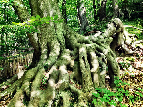 Beech roots Knole