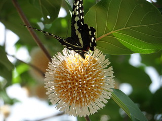 Schmetterling an den Murchison Falls